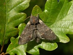 Iron Prominent (Notodonta dromedarius)